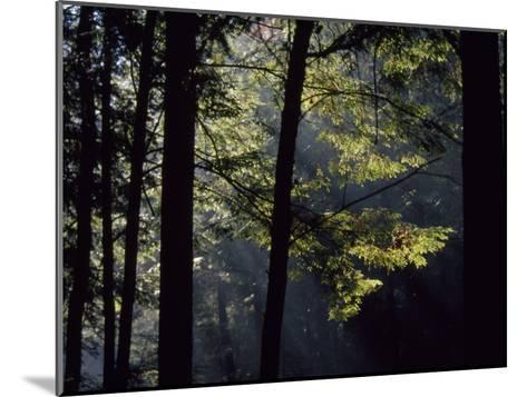 Morning Sun Peaks Through Hemlock Trees Along Paint Creek-Raymond Gehman-Mounted Photographic Print
