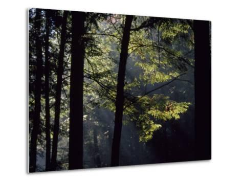 Morning Sun Peaks Through Hemlock Trees Along Paint Creek-Raymond Gehman-Metal Print
