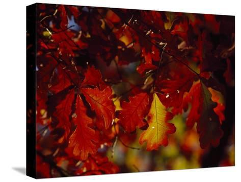 Clusters of Colorful Oak Leaves in Fall Colors-Raymond Gehman-Stretched Canvas Print