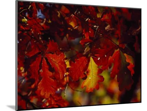 Clusters of Colorful Oak Leaves in Fall Colors-Raymond Gehman-Mounted Photographic Print