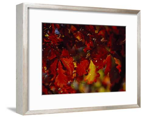 Clusters of Colorful Oak Leaves in Fall Colors-Raymond Gehman-Framed Art Print