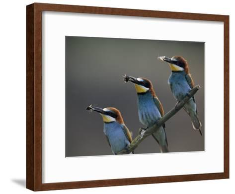 Beaks Replete with Prey, a Trio of Bee Eaters Eye their Nearby Nests-Jozsef Szentpeteri-Framed Art Print