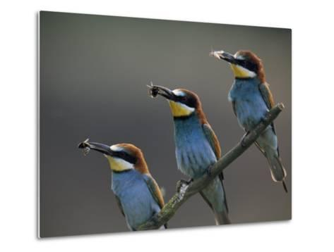Beaks Replete with Prey, a Trio of Bee Eaters Eye their Nearby Nests-Jozsef Szentpeteri-Metal Print