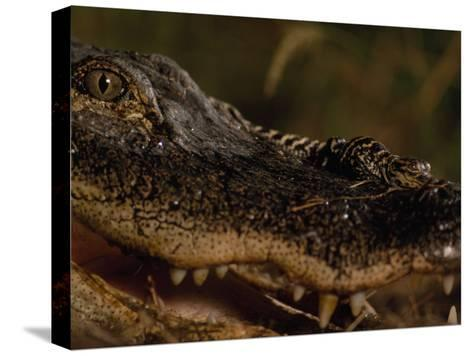 Newborn American Alligator on Top of its Mother's Nose-Chris Johns-Stretched Canvas Print