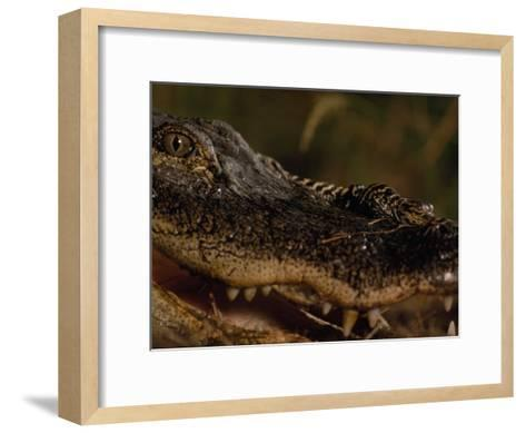 Newborn American Alligator on Top of its Mother's Nose-Chris Johns-Framed Art Print