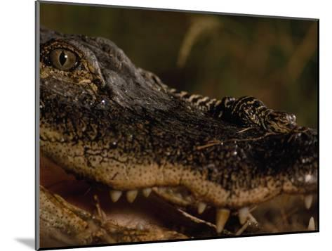 Newborn American Alligator on Top of its Mother's Nose-Chris Johns-Mounted Photographic Print