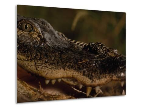 Newborn American Alligator on Top of its Mother's Nose-Chris Johns-Metal Print