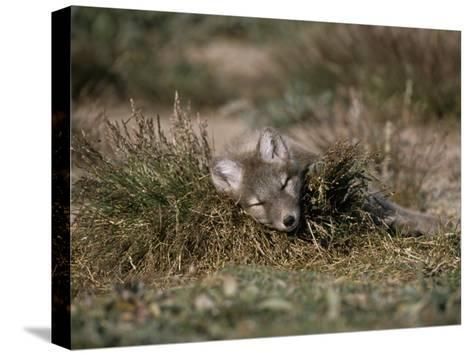 Arctic Fox Pup (Alopex Lagopus) Sleeps in Some Brush in the Tundra-Norbert Rosing-Stretched Canvas Print