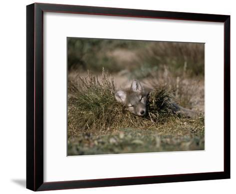Arctic Fox Pup (Alopex Lagopus) Sleeps in Some Brush in the Tundra-Norbert Rosing-Framed Art Print