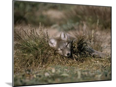 Arctic Fox Pup (Alopex Lagopus) Sleeps in Some Brush in the Tundra-Norbert Rosing-Mounted Photographic Print