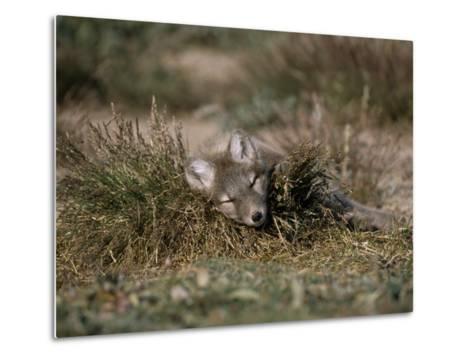 Arctic Fox Pup (Alopex Lagopus) Sleeps in Some Brush in the Tundra-Norbert Rosing-Metal Print