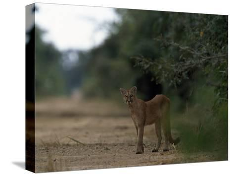 Puma Stands at the Edge of a Road-Steve Winter-Stretched Canvas Print