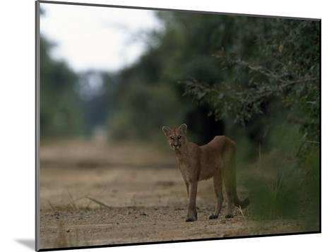 Puma Stands at the Edge of a Road-Steve Winter-Mounted Photographic Print