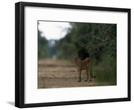 Puma Stands at the Edge of a Road-Steve Winter-Framed Art Print