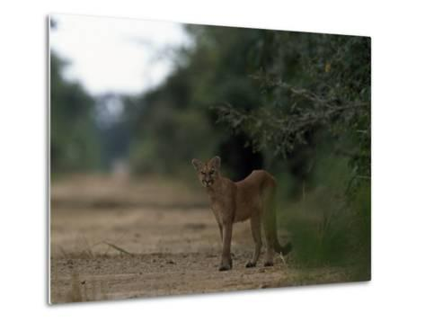Puma Stands at the Edge of a Road-Steve Winter-Metal Print