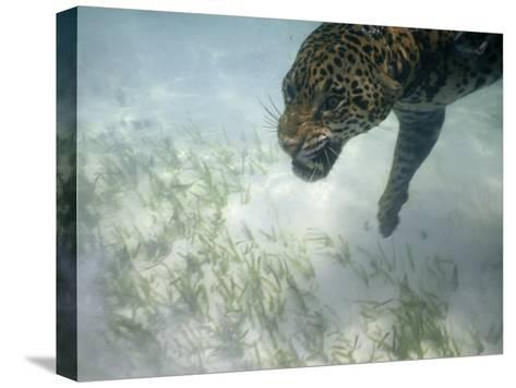 Jaguar Takes a Swim in the Clear Water Off the Shore of Cancun-Steve Winter-Stretched Canvas Print