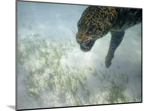 Jaguar Takes a Swim in the Clear Water Off the Shore of Cancun-Steve Winter-Mounted Photographic Print
