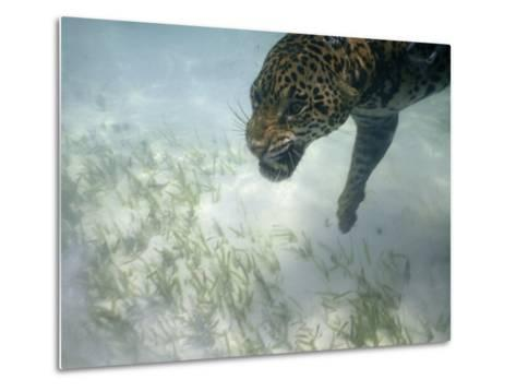 Jaguar Takes a Swim in the Clear Water Off the Shore of Cancun-Steve Winter-Metal Print