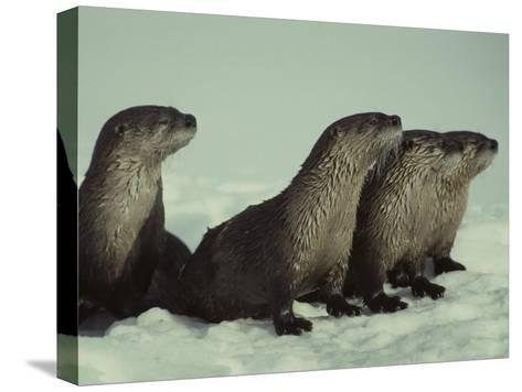 River Otter Family, Montana-Michael S^ Quinton-Stretched Canvas Print
