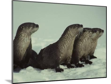River Otter Family, Montana-Michael S^ Quinton-Mounted Photographic Print