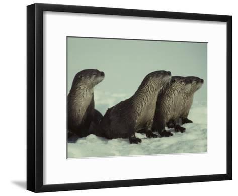 River Otter Family, Montana-Michael S^ Quinton-Framed Art Print