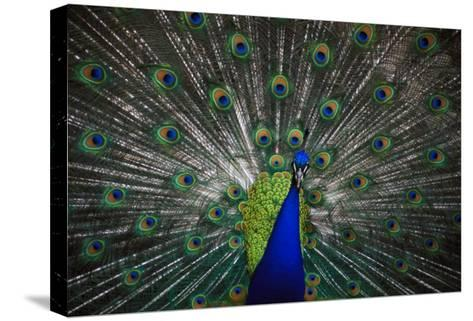 Peacock--Stretched Canvas Print