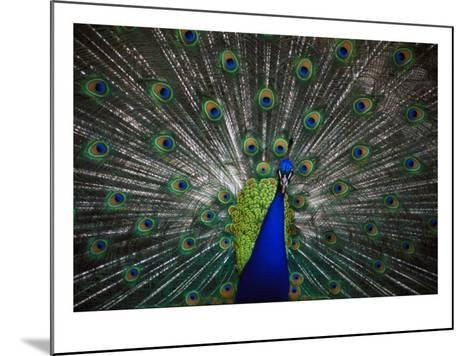 Peacock--Mounted Photo