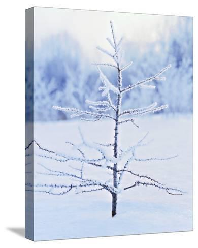 Tree in Winter Snow and Ice--Stretched Canvas Print
