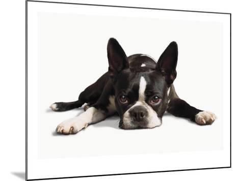 Boston Terrier--Mounted Photo