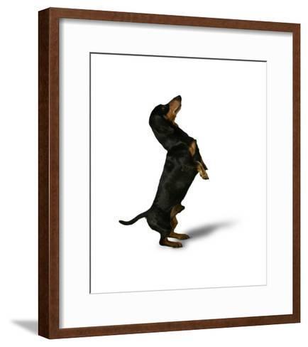 Standing Dachshund--Framed Art Print