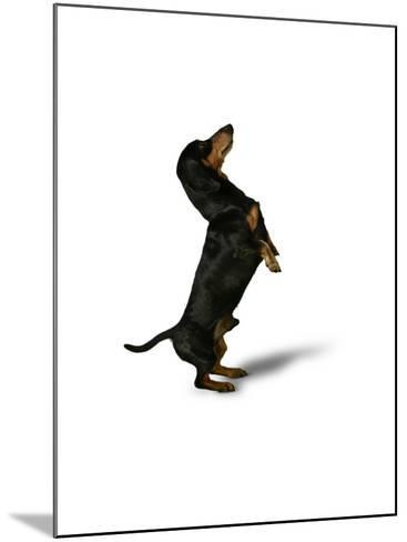 Standing Dachshund--Mounted Photo
