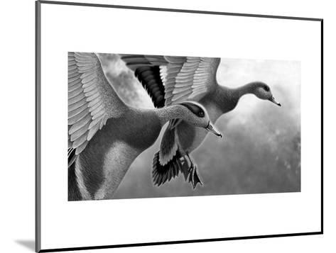 Two Ducks Taking Off--Mounted Art Print