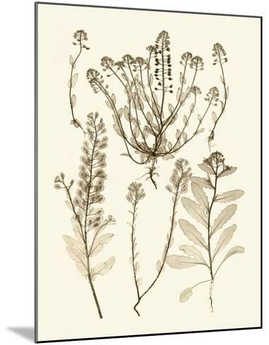 Sepia Nature Study III-Vision Studio-Mounted Art Print