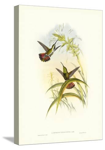 Gould Hummingbird I-John Gould-Stretched Canvas Print