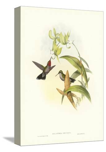 Gould Hummingbird IV-John Gould-Stretched Canvas Print