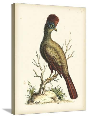 Regal Pheasants IV-George Edwards-Stretched Canvas Print