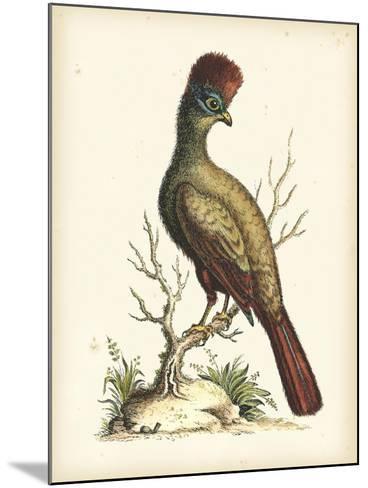 Regal Pheasants IV-George Edwards-Mounted Art Print