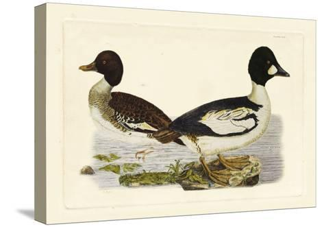Selby Duck I-John Selby-Stretched Canvas Print