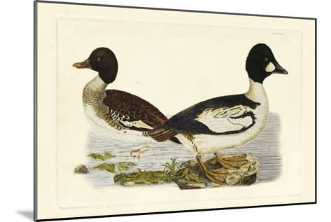 Selby Duck I-John Selby-Mounted Art Print
