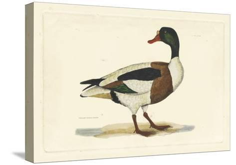 Selby Duck II-John Selby-Stretched Canvas Print