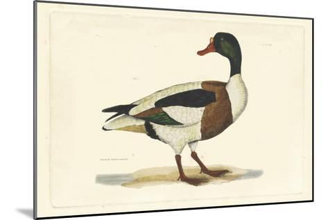 Selby Duck II-John Selby-Mounted Art Print