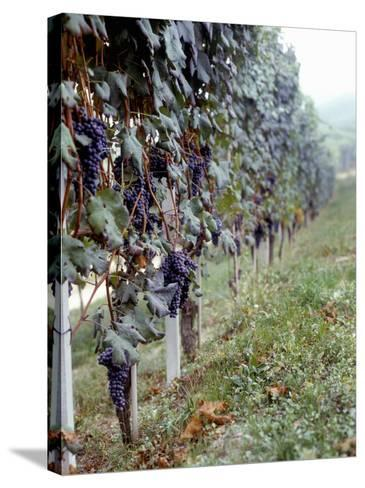 Bunches of Grapes Growing in a Vineyard, Barbaresco Docg, Piedmont, Italy--Stretched Canvas Print
