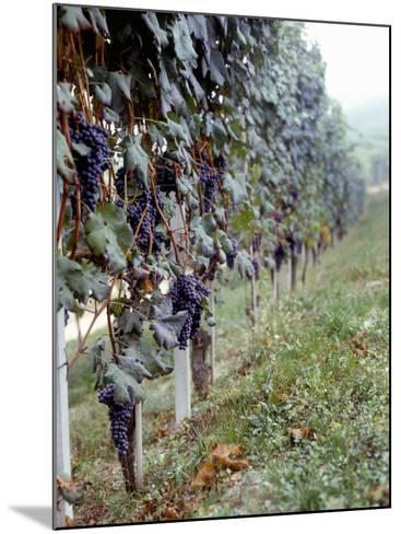 Bunches of Grapes Growing in a Vineyard, Barbaresco Docg, Piedmont, Italy--Mounted Photographic Print