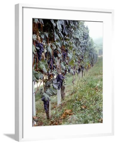 Bunches of Grapes Growing in a Vineyard, Barbaresco Docg, Piedmont, Italy--Framed Art Print