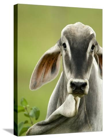 Close-Up of a Brahman Cattle, Cano Negro, Costa Rica--Stretched Canvas Print