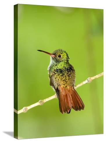 Close-Up of Rufous-Tailed Hummingbird Perching on a Twig, Costa Rica--Stretched Canvas Print