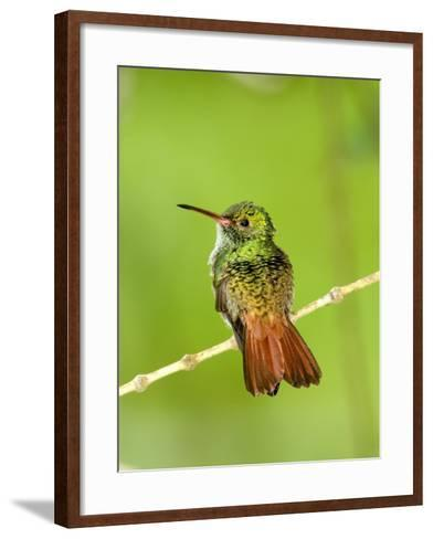 Close-Up of Rufous-Tailed Hummingbird Perching on a Twig, Costa Rica--Framed Art Print