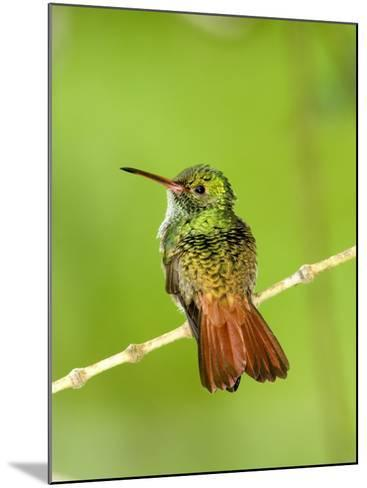 Close-Up of Rufous-Tailed Hummingbird Perching on a Twig, Costa Rica--Mounted Photographic Print