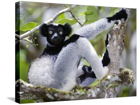Indri Lemur Sitting on a Tree, Andasibe-Mantadia National Park, Madagascar--Stretched Canvas Print