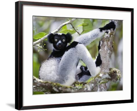 Indri Lemur Sitting on a Tree, Andasibe-Mantadia National Park, Madagascar--Framed Art Print